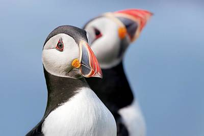 Atlantic Puffins Poster by Alex Hyde