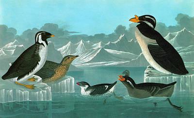 Audubon Auks Poster by Granger