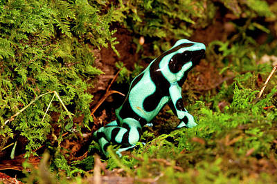Auratus Dart Frog Dendrobates Auratus Poster by David Northcott