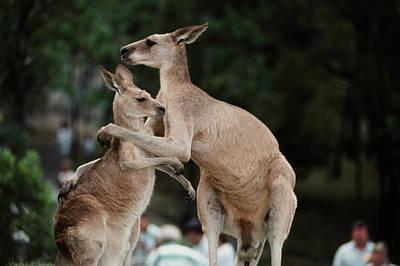 Australia, Queensland, Kangaroo (large Poster by Peter Skinner
