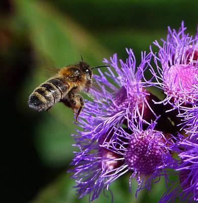 Australian Bee Arriving At Flower Poster by Margaret Saheed