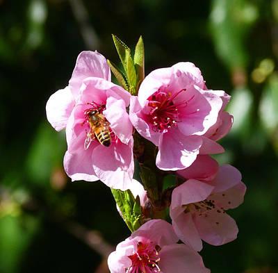 Australian Bee Enjoying Pollen In Springtime Poster by Margaret Saheed