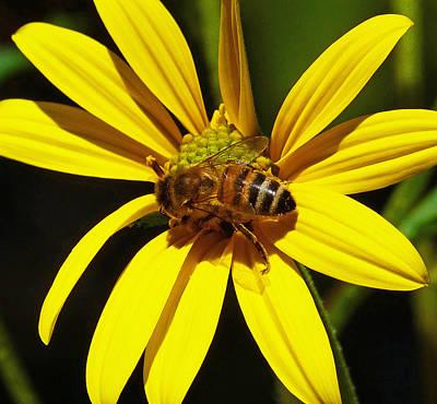 Australian Bee Snacktime Poster by Margaret Saheed