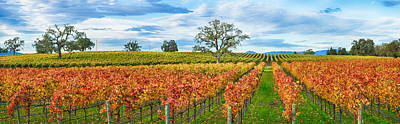 Autumn Color Vineyards, Guerneville Poster by Panoramic Images