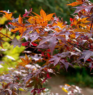 Autumnal Japanese Maple Poster by Michele Myers
