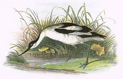 Avocet Poster by English School