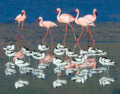 Avocets And Flamingos Standing Poster by Panoramic Images
