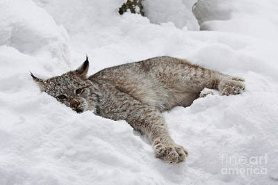 Baby Canadian Lynx Laying In The Snow Poster by Inspired Nature Photography Fine Art Photography