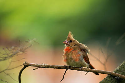 Baby Cardinal Poster by Everet Regal