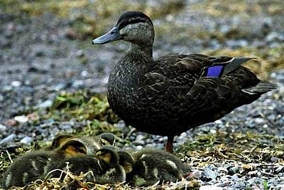 Baby Ducks With Mother Poster by Pat Now