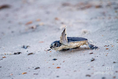 Baby Green Sea Turtle  Poster by Dawna  Moore Photography