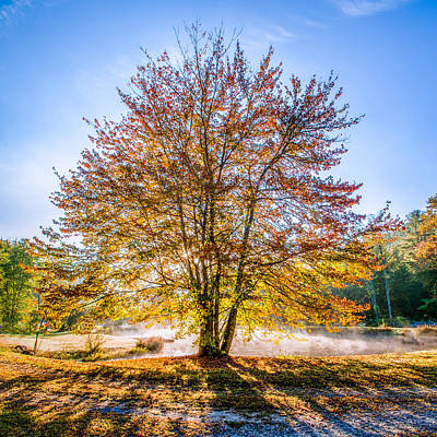 Backlit Maple Poster by Rob Travis