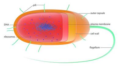 Bacterial Cell Poster by Science Photo Library
