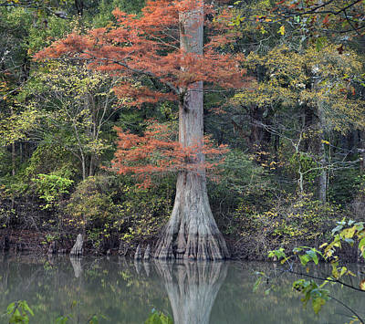 Bald Cypress In White River Nrw Arkansas Poster by Tim Fitzharris