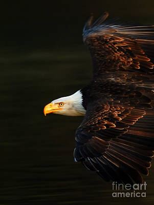 Bald Eagle In Flight Poster by Bob Christopher