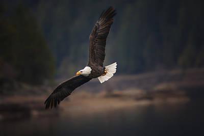 Bald Eagle In Flight Poster by Mark Kiver