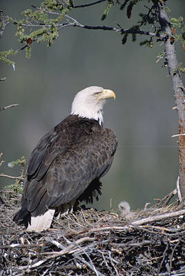 Bald Eagle On Nest With Chick Alaska Poster by Michael Quinton