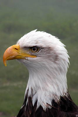 Bald Eagle Portrait Poster by Brian Chase
