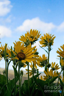 Balsamroot Reaching For The Sky Poster by Cari Gesch