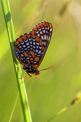Baltimore Checkerspot Butterfly Poster by Jerry and Marcy Monkman