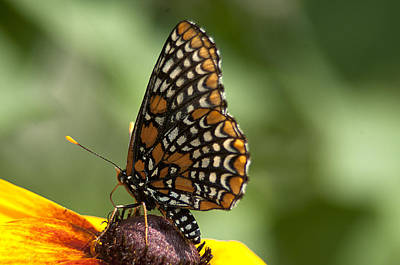 Baltimore Checkerspot On Rudbeckia Poster by Kathryn Whitaker