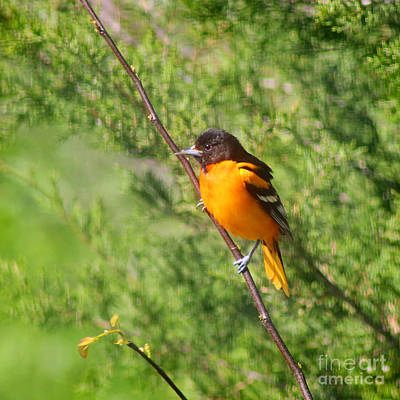 Baltimore Oriole Male Poster by Karen Adams