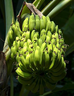 Bananas On A Banana Tree Poster by Chris Flees