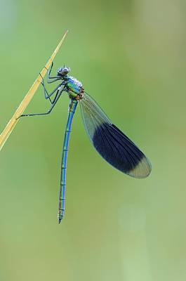 Banded Demoiselle Damselfly Poster by Science Photo Library