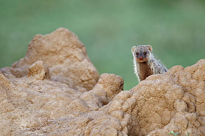 Banded Mongoose On Termite Mound Poster by Adam Jones