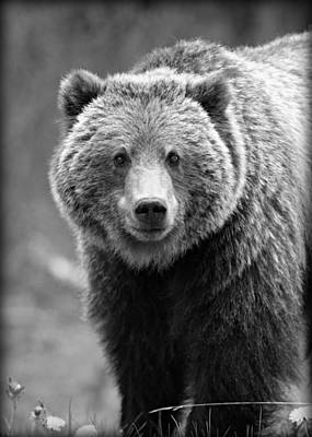 Banff Grizzly In Black And White Poster by Stephen Stookey