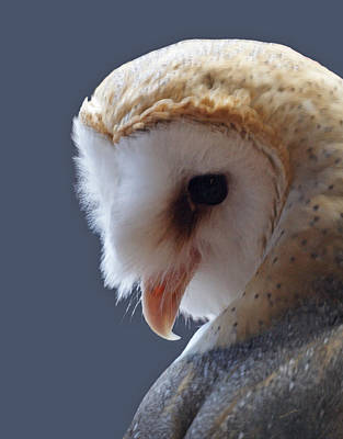 Barn Owl Dry Brushed Poster by Ernie Echols