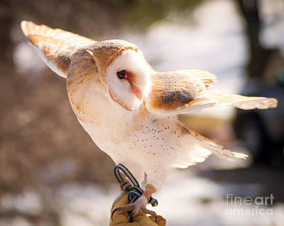 Barn Owl In The Breeze Poster by Lori England Zornes