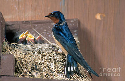 Barn Swallow At Nest Poster by Anthony Mercieca