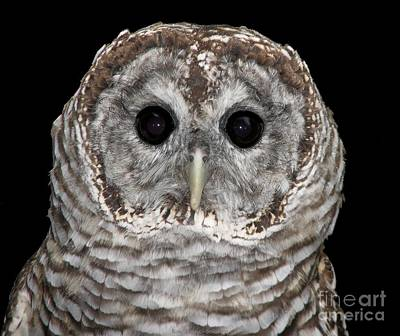 Barred Owl 3 Poster by Rose Santuci-Sofranko