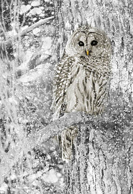 Tree Bark Poster featuring the photograph Barred Owl Snowy Day In The Forest by Jennie Marie Schell