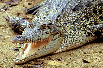 Basking Saltwater Crocodile, Also Known Poster by Thomas Wiewandt