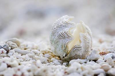 Beach Clam Poster by Sean Davey
