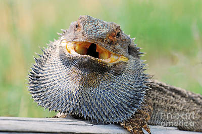 Bearded Dragon In Defense Mode Poster by Christopher Edmunds