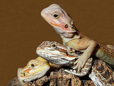 Bearded Dragons Poster by Nigel Downer