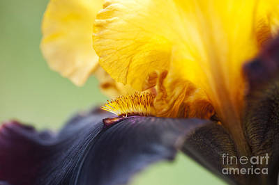 Bearded Iris Dwight Enys Abstract Poster by Tim Gainey