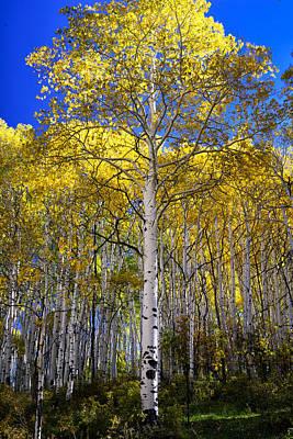 Beautiful Aspen Tree Poster by Rendell B
