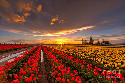 Beautiful Tulip Field Sunset Poster by Mike Reid