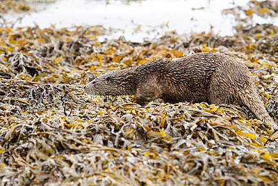 Beautifully Camouflaged Otter On The Isle Of Mull Scotland Uk Poster by Mr Bennett Kent