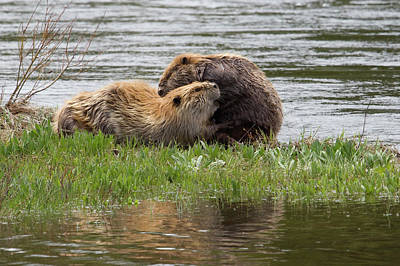 Beaver Pair Grooming One Another Poster by Ken Archer