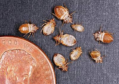 Bed Bugs With A Us One Cent Coin Poster by Stephen Ausmus/us Department Of Agriculture