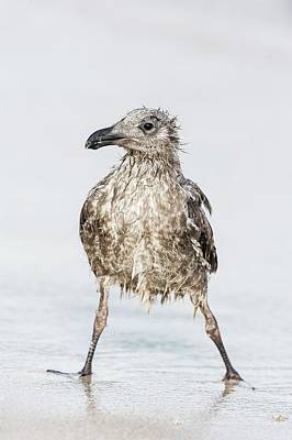 Bedraggled Juvenile Kelp Gull Poster by Peter Chadwick