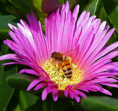Bee Collecting Pollen On Pigface Flower Poster by Margaret Saheed
