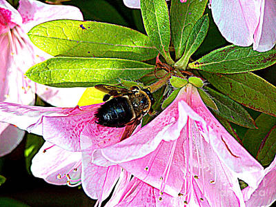 Bee On  Pink Azalea Poster by Kathy  White