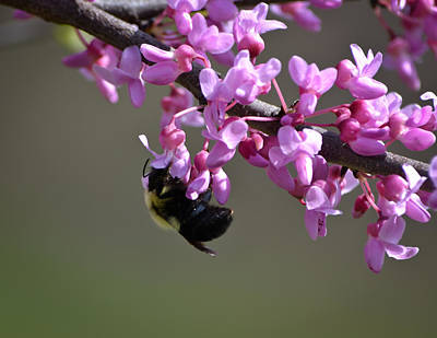 Bee On The Redbud Poster by Mary Zeman