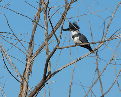 Belted Kingfisher 4 Poster by Ernie Echols